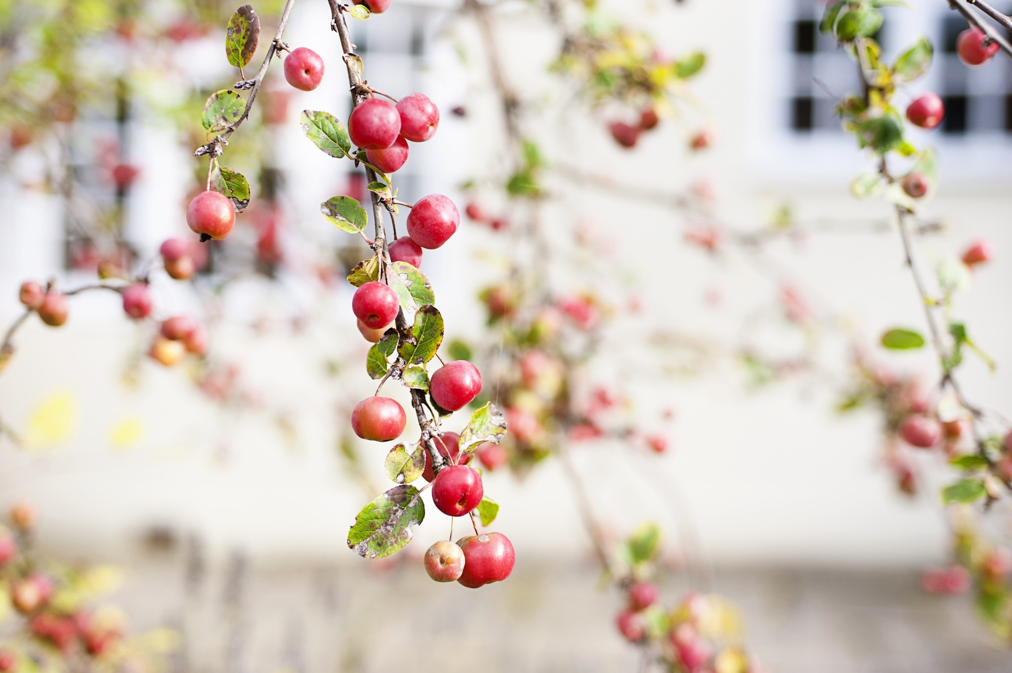 A branch laden with crab apples
