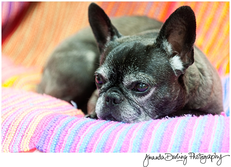 Frenchie Dog photographer Chipstead