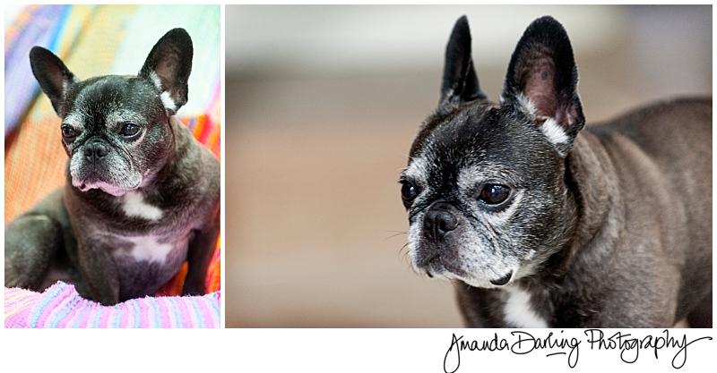 Frenchi dog photographer Amanda Darling