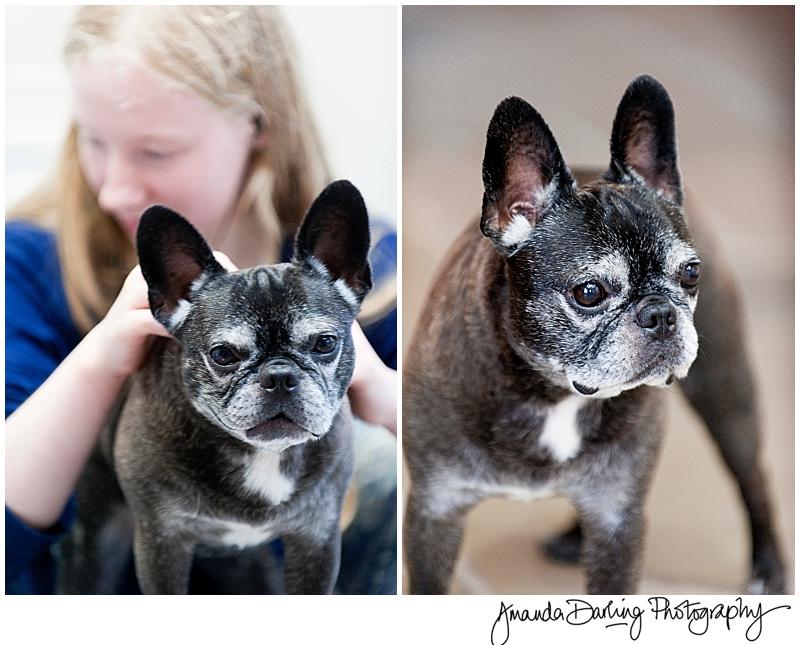 French Dog photoshoot by Amanda Darling
